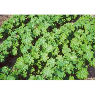 BIO Gemüsemalve, chinesische
